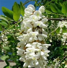 Акация (acacia) - фото 5838