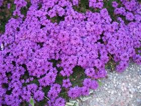 Вербена (vervain blu) - фото 5842