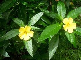 Дамиана (Turnera diffusa) - фото 5845