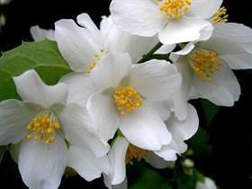 Жасмин (Jasminium odoratissimum) - фото 5847