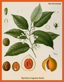 Мускатный орех (Nutmeg) - фото 5861