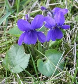 Фиалка (Blue Violet) - фото 5874