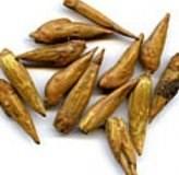 Бальзам Гилеада (Populus candicans)
